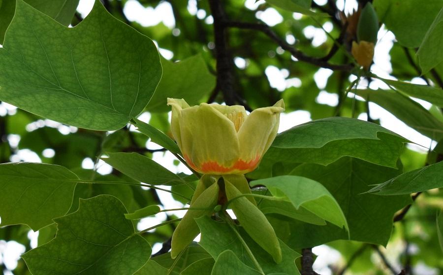 Liriodendron tulipifera 9 Apr18 web