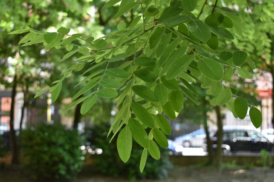 Sophora japonica 7 Mag18 web
