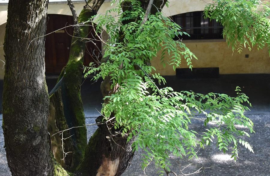 Sophora japonica10A Mag18