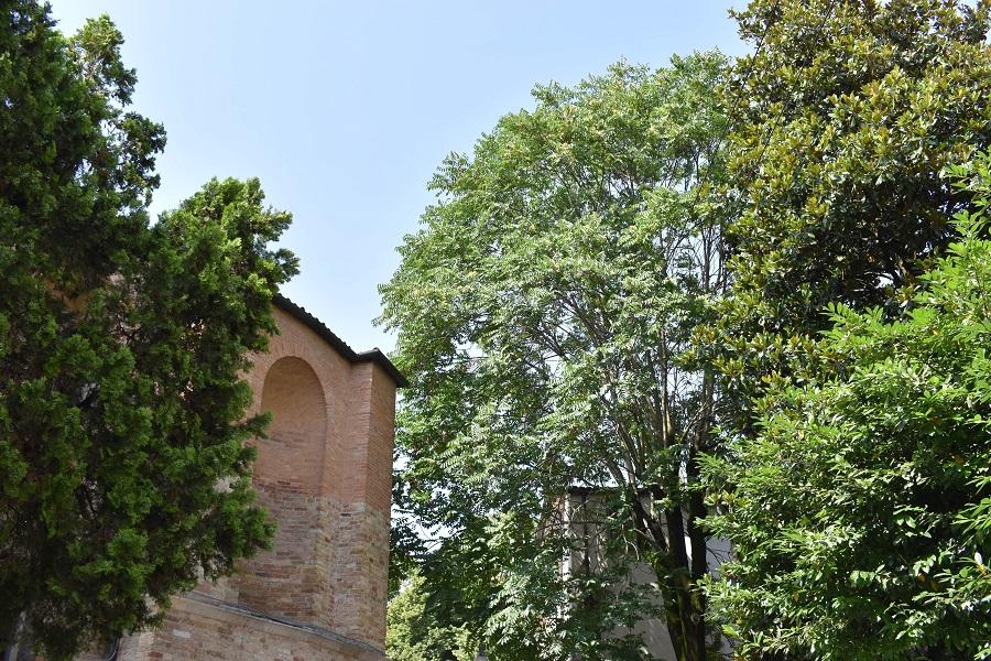Ailanthus Santa Sofia