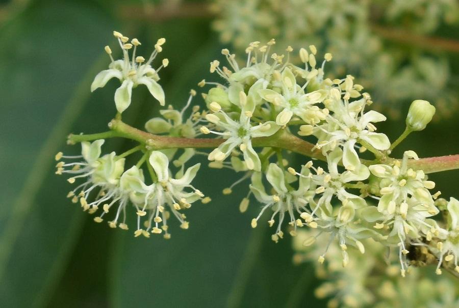 Ailantus fiore maschile