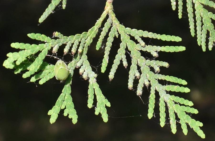 Goito T occidentalis frutti