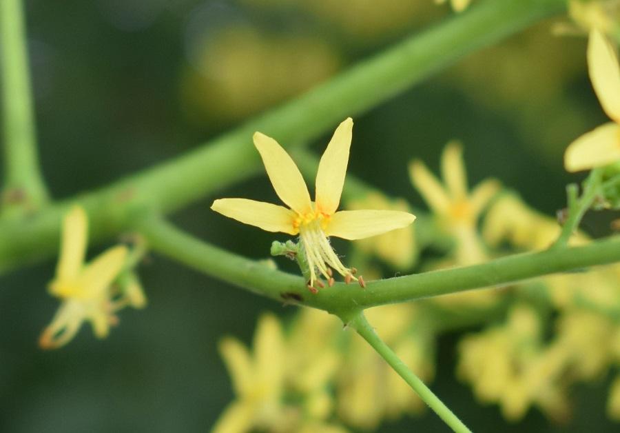 Koelreuteria paniculata fiore0