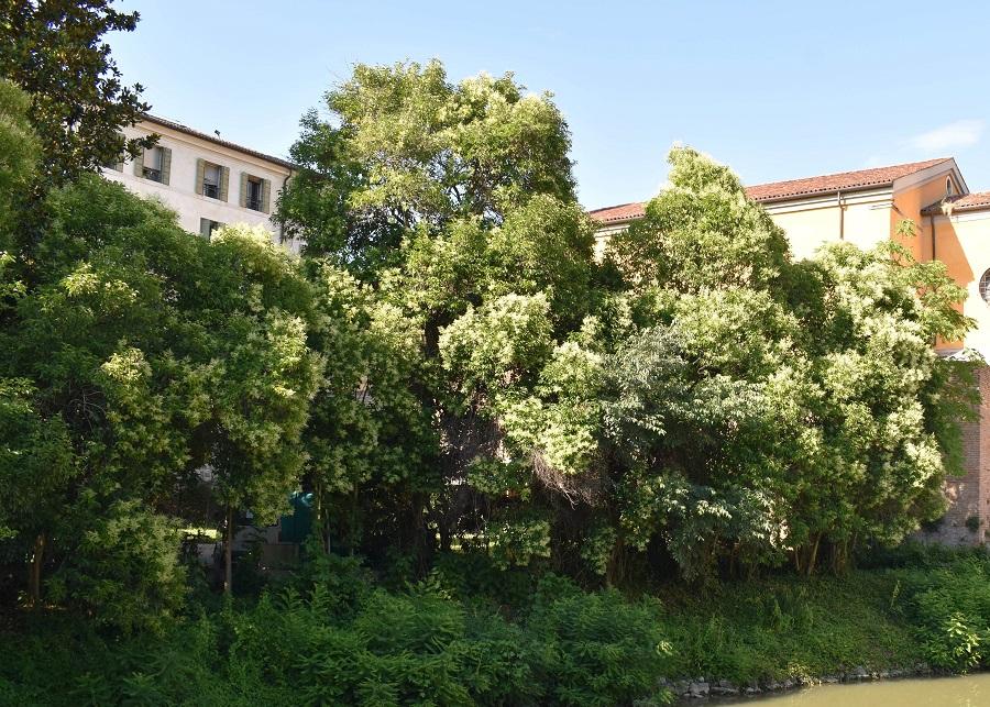 Ligustrum Specola 2