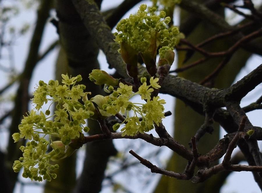 4a Acer platanoides 4 Mar18