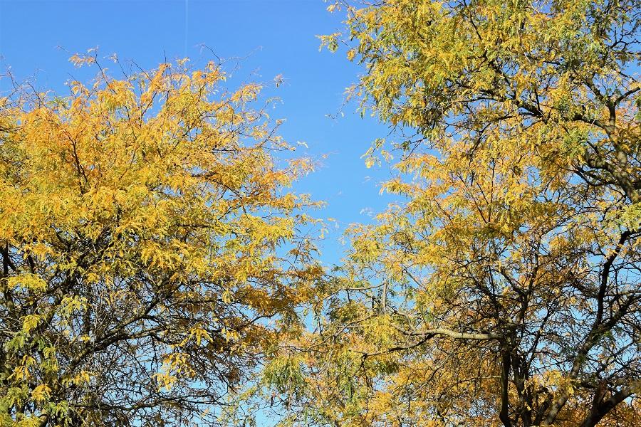 Gleditsia triacanthos inerme autunno2