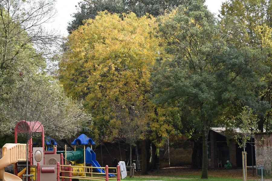 Gleditsia triacanthos inerme autunno4