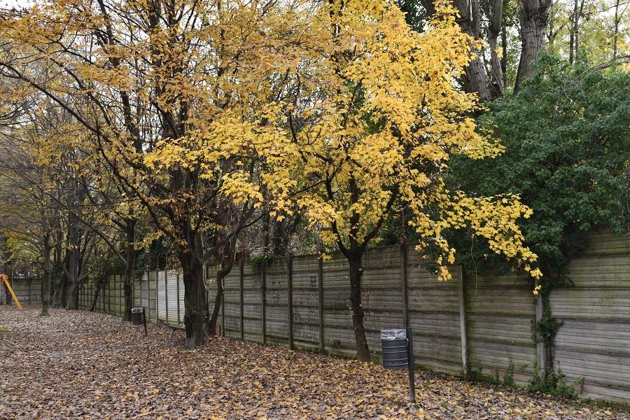 Acer campestre autunno 3