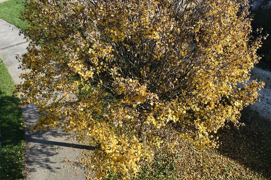 Acer campestre autunno 4