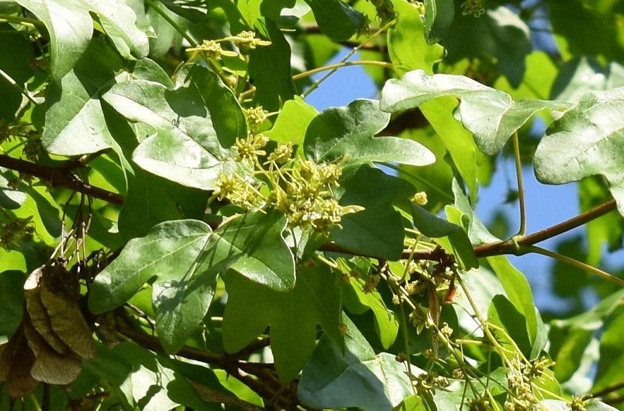 Acer campestre fiore 1