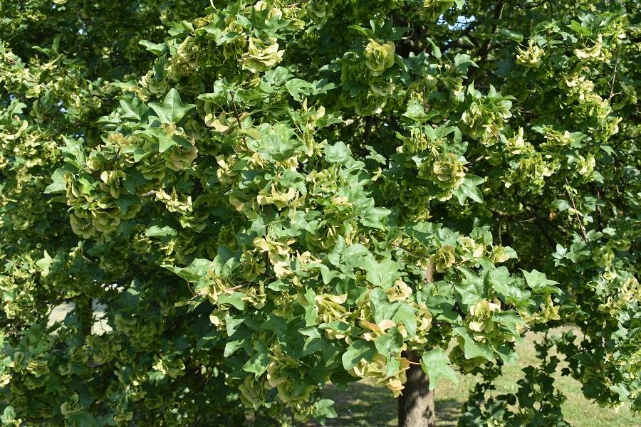 Acer campestre foglie estate 1