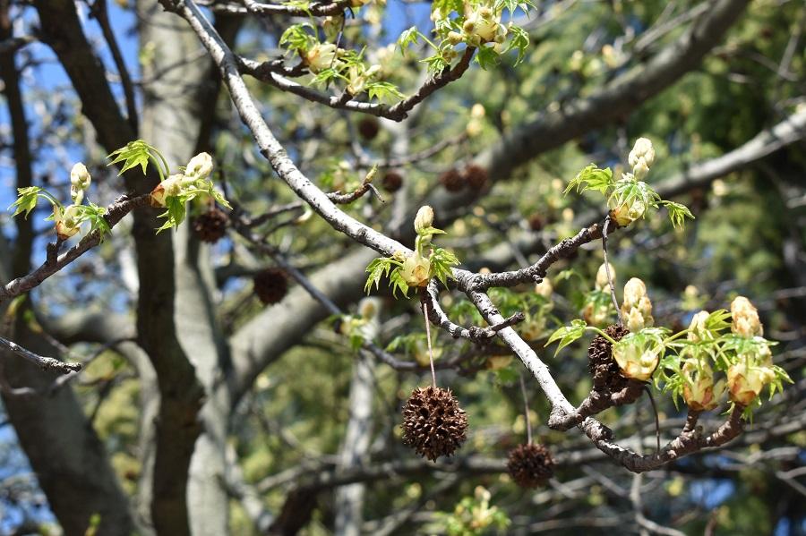 Liquidambar styraciflua fiore 4
