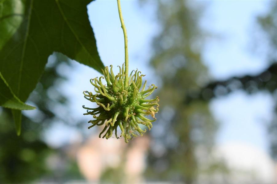 Liquidambar styraciflua frutto 4