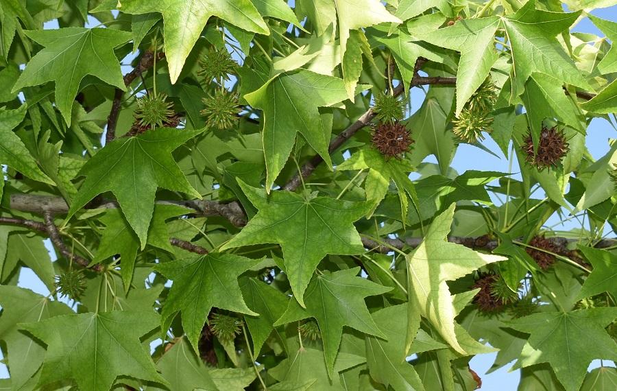 Liquidambar styraciflua frutti 1