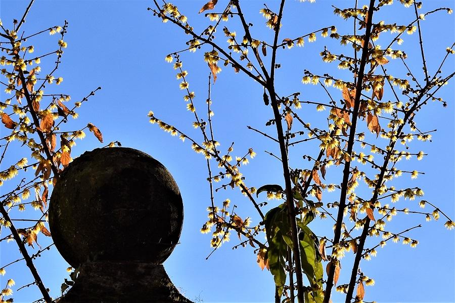chinomanthus praecox