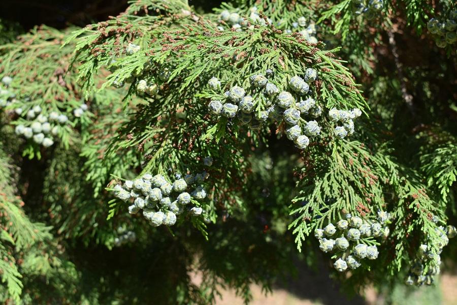 Chamaeciparis lawsoniana frutti 1