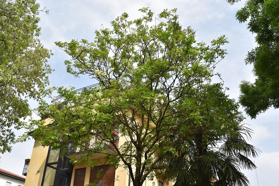 Fraxinus ornus 1