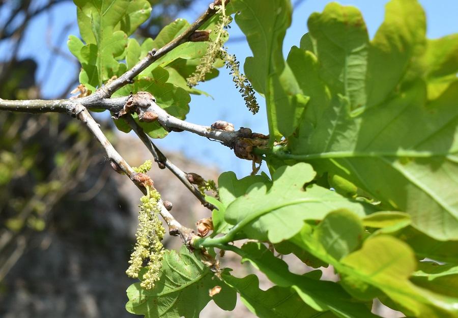 Quercus robur fastigiata 1