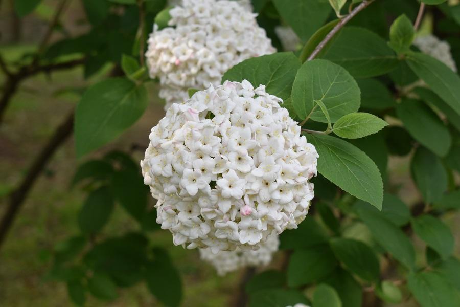 Viburnum opalus 1