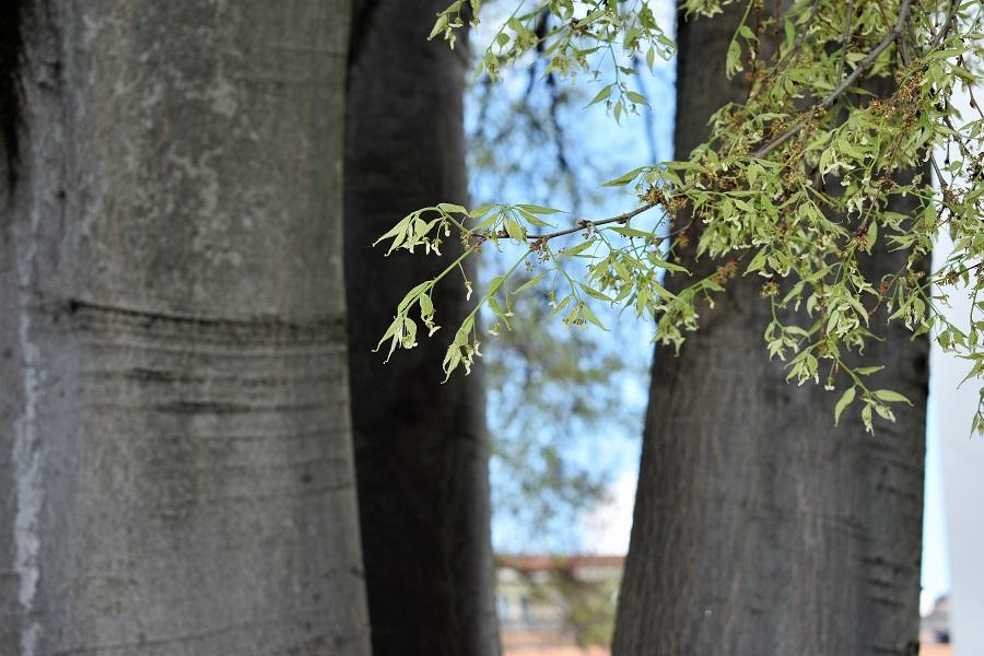 Celtis australis 3 Apr18