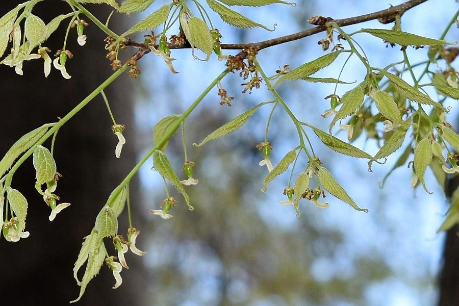 Celtis australis 3a Apr18