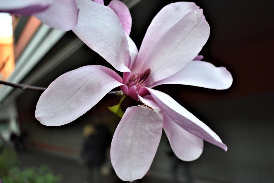 Magnolia sp 3 Apr18