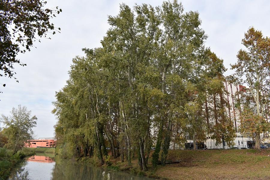 Populus alba 2 Nov18