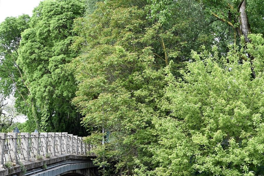Aliantus altissima 9 Apr18