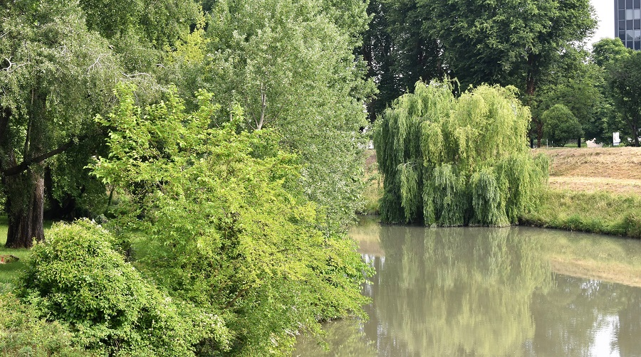 Salix alba tristis 4 Mag18a