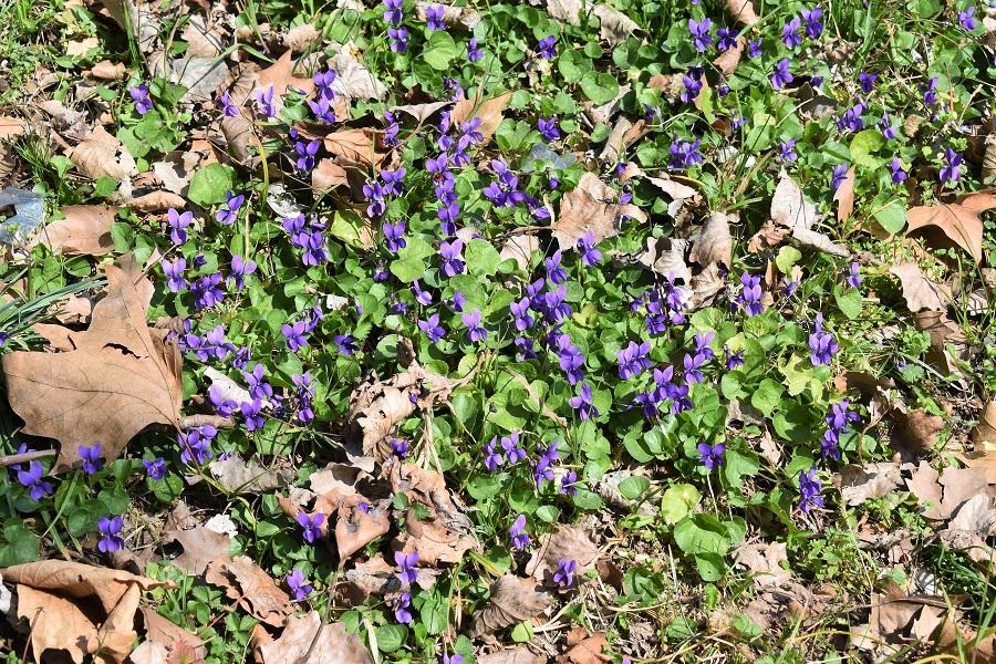 Violette Mar19